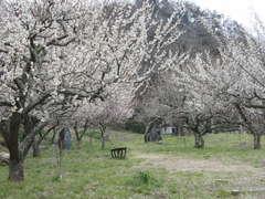見頃を迎えた遅咲きの梅が咲き誇る=日立市諏訪町の諏訪梅林