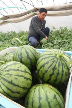 収穫が始まった筑西市特産のこだまスイカ=同市猫島