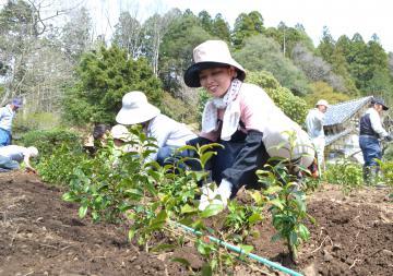 島家住宅敷地で行われた初音茶の定植作業=城里町上古内