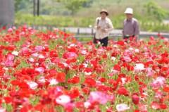 今年最高の暑さの中、咲き競うポピー=下妻市鎌庭、菊地克仁撮影