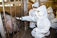 協定に基づく現地活動で、飼育されている中国原産の梅山豚に触れる明治大学の学生たち=境町の塚原牧場