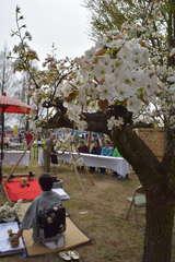 梨の花が咲く中で開催された「梨の花まつり」=筑西市舟生