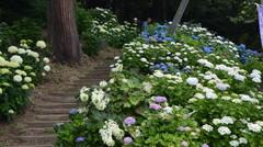 60種を超えるアジサイが見頃を迎えた竹原神社=小美玉市竹原