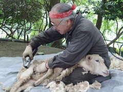 大きなバリカンで毛を刈られるヒツジ=石岡市吉生