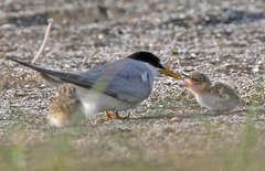 コアジサシのヒナに餌を与える親鳥=神栖市内(徳元茂さん提供)