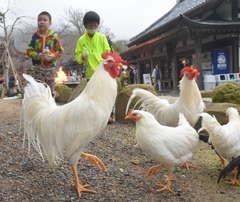 境内に放たれた日本鶏「小国」=桜川市本木の雨引山楽法寺