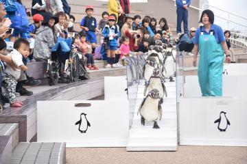 お散歩タイムで橋を渡るペンギン=大洗町磯浜町のアクアワールド県大洗水族館