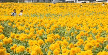 八重ヒマワリの開花がピークを迎えた、あけのひまわりフェスティバル会場=筑西市倉持