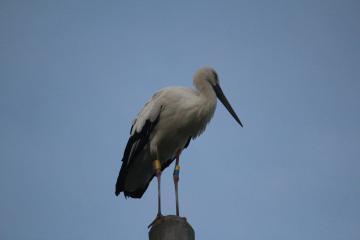 行方市に飛来し2羽で行動していた雌のコウノトリ=行方市手賀、8月15日午後6時20分ごろ(石田博さん撮影)