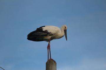 行方市に飛来し2羽で行動していた雄のコウノトリ=行方市手賀、15日午後6時20分ごろ(石田博さん撮影)