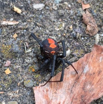 神栖市内の工業団地で発見されたセアカゴケグモとみられるクモ(市提供)