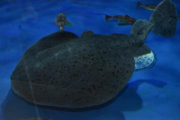 水槽内をゆったりと泳ぐゴマフシビレエイ=23日、大洗町磯浜町のアクアワールド県大洗水族館