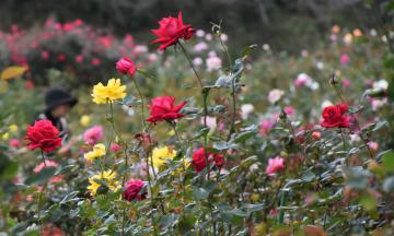 豊富な種類の秋バラが楽しめる=石岡市下青柳