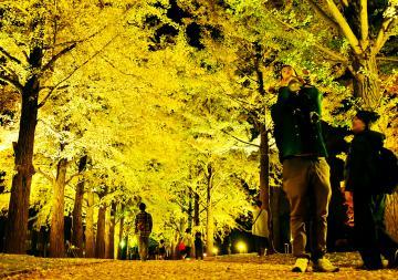 ライトアップされた県立歴史館のイチョウ並木=水戸市緑町