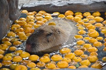 ゆず湯に入るカピバラのタロー=大洗町磯浜町のアクアワールド県大洗水族館