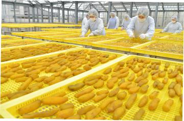 干し芋作りをする従業員たち=15日午後0時25分ごろ、ひたちなか市釈迦町