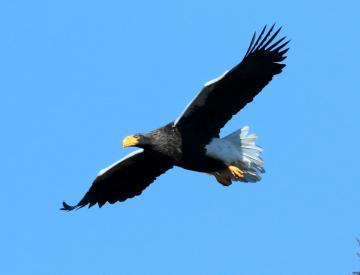 涸沼に今年も飛来した国天然記念物のオオワシ=21日、茨城町内