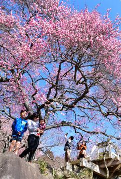 筑波山の中腹に咲きそろう紅梅=つくば市沼田、菊地克仁撮影