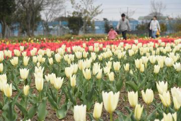 色鮮やかに咲き誇る約2万本のチューリップ=神栖市須田