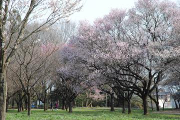 350品種のサクラが栽培される「日本花の会結城農場・桜見本園」。ポカポカ陽気の中、散策を楽しむ人の姿もあった=3月25日、結城市内