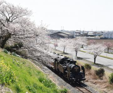 サクラの咲く真岡鉄道真岡線の沿線を走り抜けるC11形蒸気機関車=筑西市折本