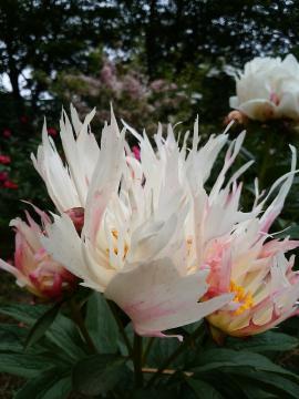 「令和」と命名される新品種のシャクヤク。写真は2年前に咲いたもの(同園提供)