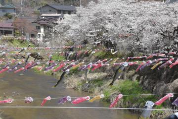 満開の桜の近くで泳ぐミニこいのぼり=大子町袋田