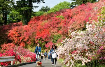 赤や白など色とりどりのツツジが見頃を迎えた笠間つつじ公園=笠間市笠間