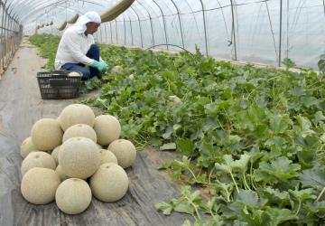 本県オリジナル品種の「イバラキング」を収穫する田山浩志さん=15日午前、鉾田市二重作