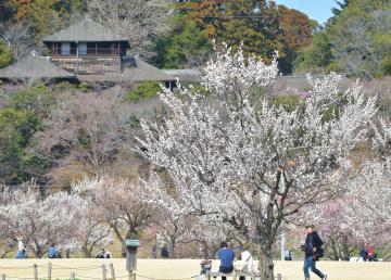 偕楽園公園の田鶴鳴梅林=3月12日、水戸市常磐町、菊地克仁撮影