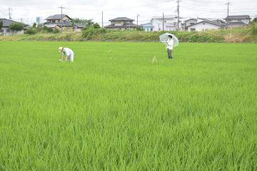 「ふくまる」の生育状況を調べる県担当者=ひたちなか市枝川