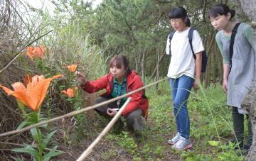 試験栽培して開花したスカシユリ=東海村豊岡