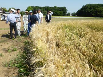 JGAPの審査が行われた渡辺政彦さんの麦畑=筑西市内