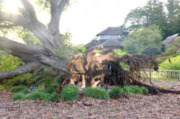 強風の影響で倒壊した偕楽園の「左近の桜」。後ろに好文亭が見える=水戸市常磐町、清水英彦撮影