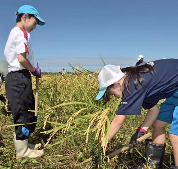 「ふゆみずたんぼ」の稲を収穫する参加児童たち=鉾田市安塚