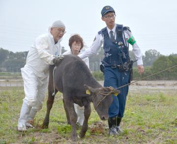 栃木県から流された子牛を保護する水戸署員と県職員ら=14日午前11時18分ごろ、水戸市中大野
