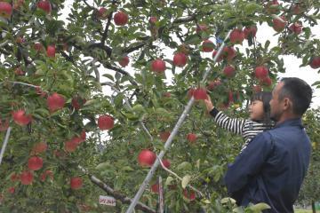 樹木で完熟させてから収穫する奥久慈リンゴ=大子町