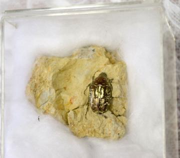 シロテンハナムグリの化石
