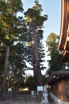 国天然記念物になっている安良川八幡宮の古木「爺杉」=高萩市安良川