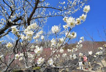 開花が進み甘い香りが漂う筑波山の梅林=12日午後、つくば市沼田