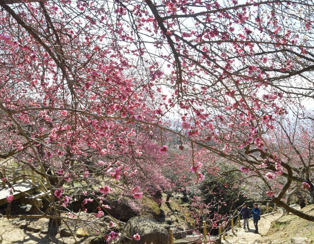開花が進み甘い香りが漂う筑波山の梅林=12日午前、つくば市沼田、吉田雅宏撮影