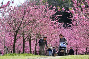 見頃を迎え、咲き誇るハナモモ=16日午前、古河市鴻巣、吉田雅宏撮影