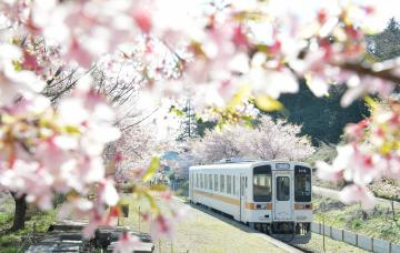 満開になった、ひたちなか海浜鉄道中根駅の大漁桜=18日午前、ひたちなか市三反田