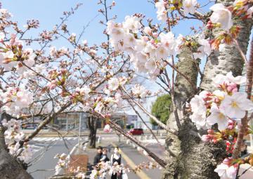 過去2番目に早く開花が発表された水戸の桜=21日午前11時50分ごろ、水戸市笠原町