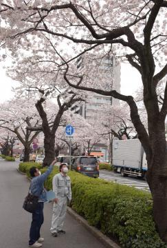 平和通りに並ぶソメイヨシノの花付きや樹木の状態をじっくりと見て回る日立市さくら課の職員と樹木医=同市鹿島町