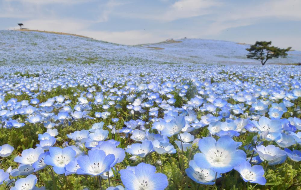 """ネモフィラが見頃を迎える中、見る人が誰もいない""""花の海""""が広がる園内=7日午前、ひたちなか市馬渡、吉田雅宏撮影"""