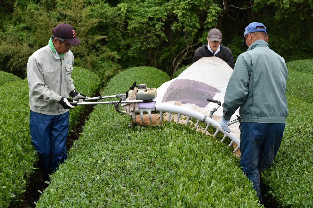 刈り取り機で新茶を摘む生産農家=大子町左貫