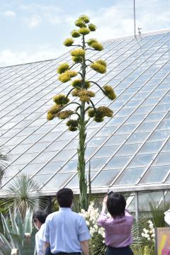 国立科学博物館筑波実験植物園で開花した「アガベ・サルミアナ・フェロクス」=つくば市天久保、成田愛撮影