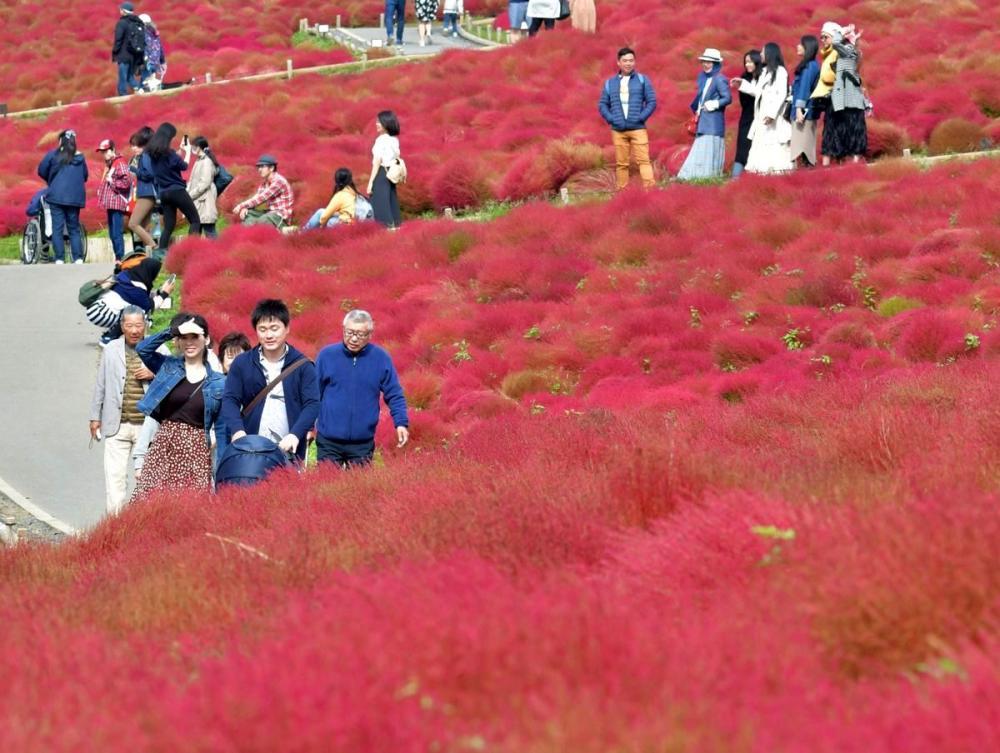 丘一面に広がる紅葉したコキア=2019年10月24日撮影、ひたちなか市馬渡の国営ひたち海浜公園