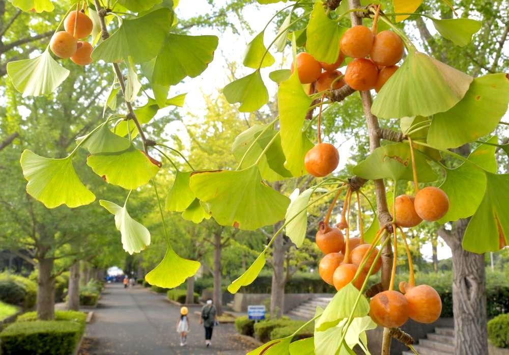 黄色く色づいたギンナン=21日午後、那珂市向山の笠松運動公園